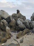 Selo corajoso empoleirado em rochas litorais fotografia de stock royalty free