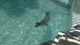 Selo da natação Imagens de Stock