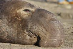 Selo de elefante Imagem de Stock