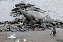 Selo de elefante e pinguim de Gentoo, a Antártica foto de stock