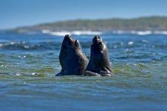 Selo de elefante, leonina do Mirounga, luta em ondas de oceano azuis Selo com a rocha no fundo Animal de mar dois grande no hab d imagem de stock