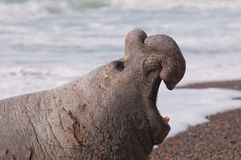 Selo de elefante masculino fotos de stock