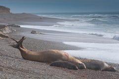 Selo de elefante masculino no Patagonia Fotos de Stock