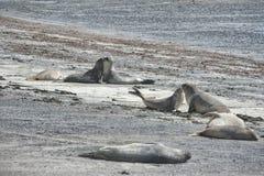 Selo de elefante na península de Valdes imagens de stock