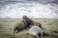Selo de elefante que luta na praia Imagens de Stock