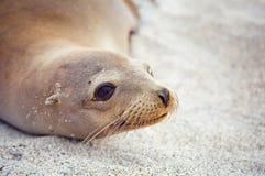Selo de Galápagos imagens de stock royalty free
