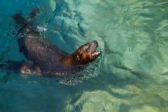 Selo de vanglória do jardim zoológico Fotos de Stock Royalty Free