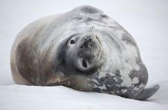 Selo de Weddell de Continente antárctico Foto de Stock Royalty Free