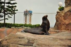 Selo do mar Fotos de Stock Royalty Free