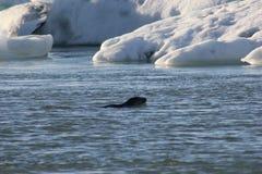Selo na água de gelo Imagens de Stock