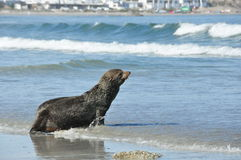 Selo na praia Fotografia de Stock Royalty Free