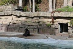 Selo no jardim zoológico Imagem de Stock