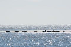 Selo no mar de wadden Fotografia de Stock