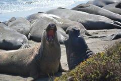 Selo orelhudo bonito (leão de mar) em Califórnia imagens de stock