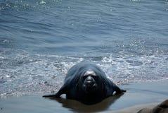 Selo orelhudo bonito (leão de mar) em Califórnia fotografia de stock