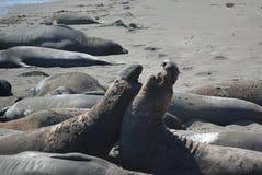Selo orelhudo bonito (leão de mar) em Califórnia foto de stock royalty free