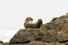 Selo que levanta em rochas Imagens de Stock Royalty Free