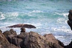 Selo só, costa de Wainuiomata, Nova Zelândia Foto de Stock Royalty Free