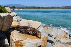 Selo sonolento em rochas em Narooma Imagens de Stock Royalty Free
