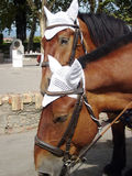 Selon les chevaux de chariot de Grèce Image libre de droits