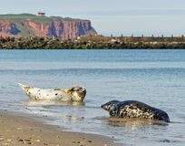 Selos cinzentos na praia da ilha do Mar do Norte de Heligoland fotos de stock
