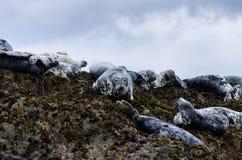 Selos cinzentos nas ilhas 2 do farne Fotos de Stock