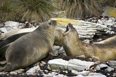 Selos de elefante as Ilhas Falkland imagens de stock