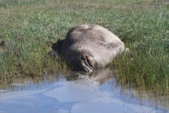 Selos de elefante em Ano Nuevo Fotos de Stock Royalty Free