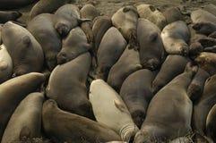 Selos de elefante em Califórnia Foto de Stock Royalty Free