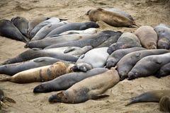 Selos de elefante em uma praia perto de San Simeon Fotos de Stock Royalty Free