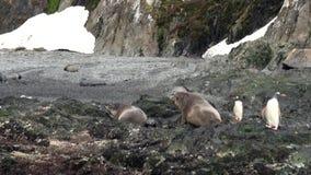 Selos de elefante imperiais dos pinguins na costa rochosa do oceano de Falkland Islands filme