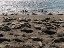 Selos de elefante na praia Fotografia de Stock Royalty Free