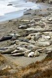Selos de elefante na praia perto de San Simeon, Califórnia, EUA imagens de stock