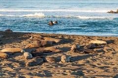 Selos de elefante que descansam na praia Foto de Stock Royalty Free