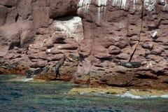 Selos do leão de mar que relaxam Imagem de Stock