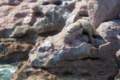 Selos do leão de mar que relaxam Fotos de Stock