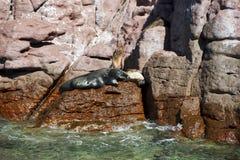 Selos do leão de mar que relaxam Foto de Stock
