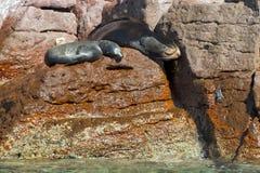 Selos do leão de mar que relaxam Fotografia de Stock
