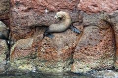 Selos do leão de mar que relaxam Imagens de Stock