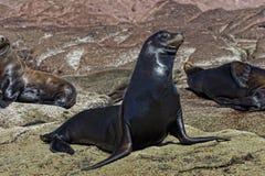Selos do leão de mar que relaxam Imagens de Stock Royalty Free