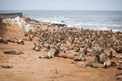 Selos dos leões de mar, Otariinae com filhotes de cachorro fotografia de stock