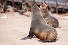 Selos dos leões de mar, Otariinae com filhotes de cachorro foto de stock