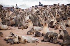 Selos dos leões de mar, Otariinae com filhotes de cachorro fotos de stock