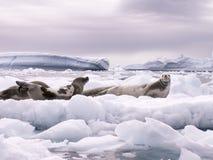 Selos e iceberg Fotos de Stock Royalty Free