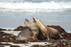 Selos na ilha do canguru, Sul da Austrália Foto de Stock Royalty Free