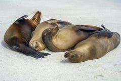 Selos na praia Foto de Stock Royalty Free