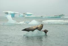 Selos no iceberg Fotografia de Stock