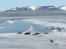 Selos no mar congelado de Weddell Fotografia de Stock