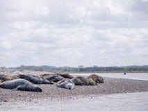 Selos no ponto Norfolk de Blakeney Fotos de Stock Royalty Free
