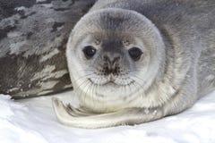 Selos pequenos de Weddell do filhote de cachorro que se encontra Imagem de Stock